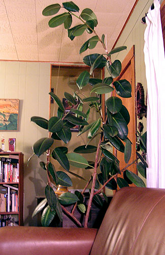 rubber tree from curb